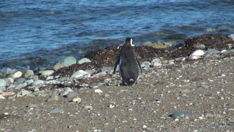 Patagonia-Magdalena-penguin-saunters-toward-water-17_4