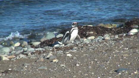 Patagonia-Magdalena-penguin-strolls-along-shore-17d