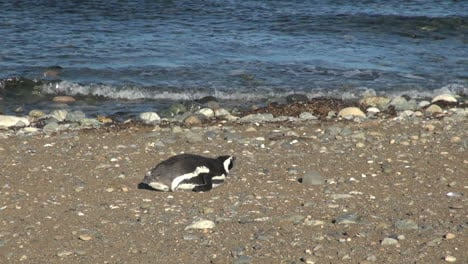 Patagonia-Magdalena-penguin-lays-down-by-water-18