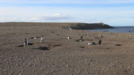 Patagonia-Magdalena-penguins-interspersed-23