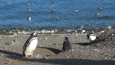 Patagonia-Magdalena-penguin-sentry-and-gulls-21