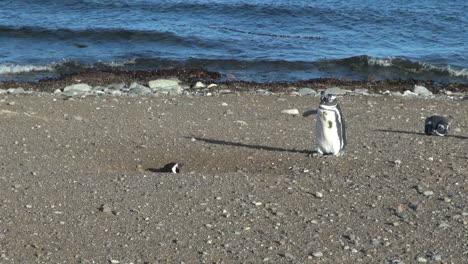 Patagonia-Magdalena-Pingüinos-Uno-Batiendo-Alas-27