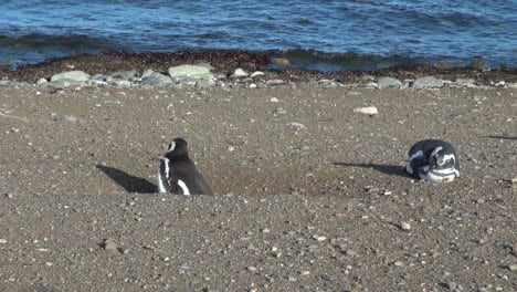 Patagonia-Magdalena-penguin-stands-in-burrow-26