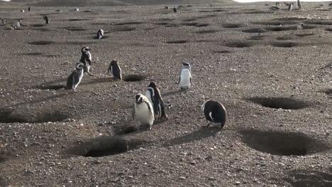 Patagonia-Magdalena-penguins-inspect-burrow-9