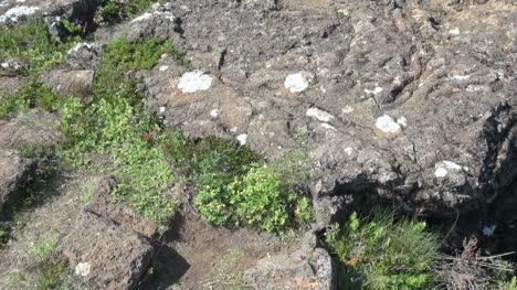 Iceland-Pingvellir-rift-detail-with-plants