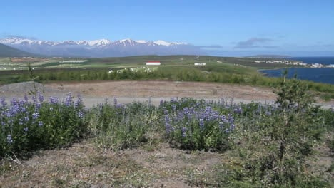 Iceland-Eyjafjordur-&-Hauganes-village-lupine-in-foreground-c