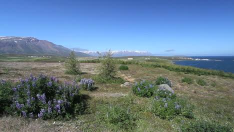 Iceland-Eyjafjordur-&-Hauganes-village-with-lupine-c