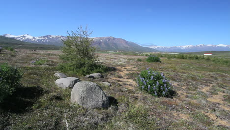 Iceland-Eyjafjordur-at-Ytra-Aland-with-rocks-&-lupine