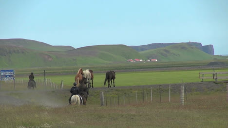 Iceland-Horses-gallop-onto-a-meadow