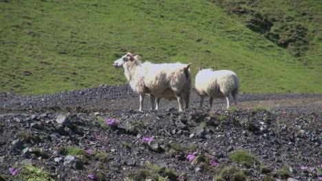 Island-Vik-Gebiet-Schafe-Stehen