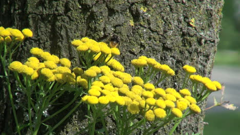 Netherlands-bee-rubbing-body-on-yellow-flowers-2