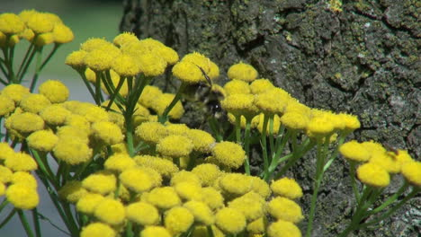 Netherlands-yellow-flower-bunch-and-bee