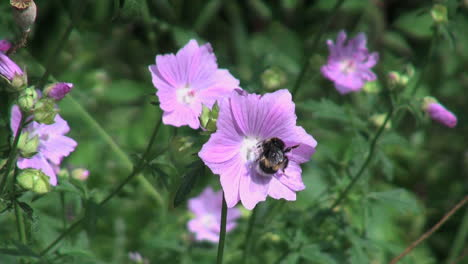 Netherlands-bee-walks-in-a-circle-on-purple-flower