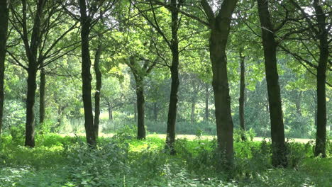 Netherlands-trees-and-illuminated-forest-floor
