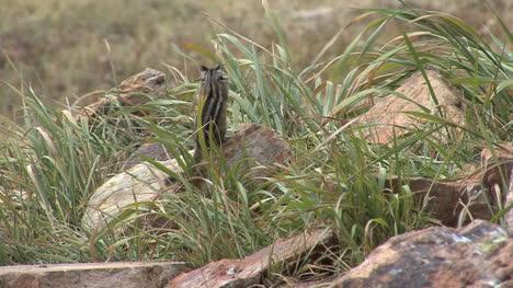 Colorado-chipmunk