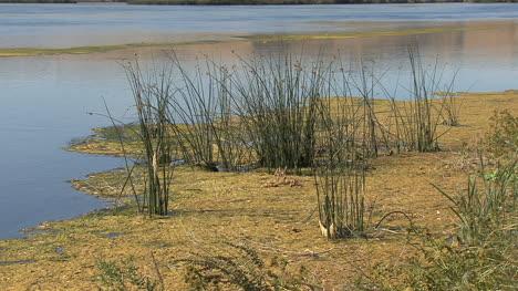 Idaho-Snake-River-reeds-and-scum