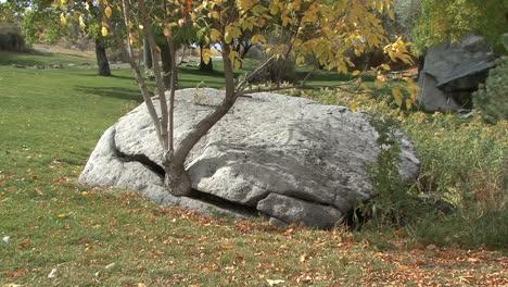 Idaho-tree-grows-from-rock-crack