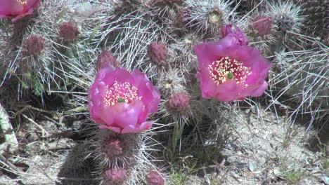 Arizona-Magenta-Cactus-Flor-S