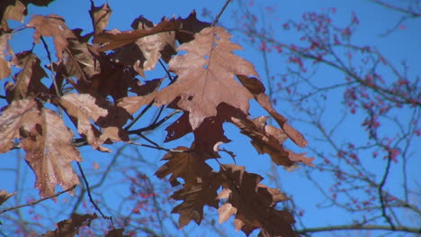 West-Virginia-brown-oak-leaves