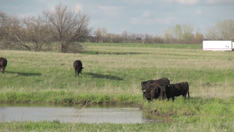 Kansas-Flint-Hills-cattle-s