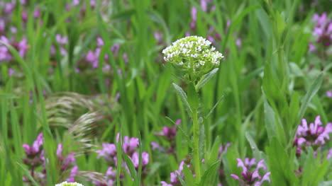 Kansas-Prairie-flowers-ct