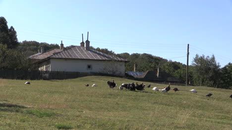 Romania-farmhouse-&-turkeys-zoom-in-cx