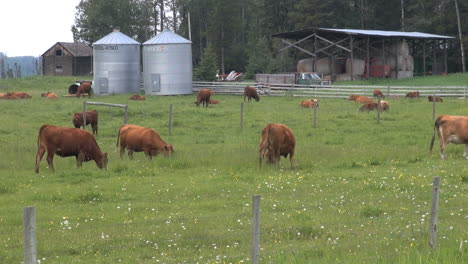 Canada-Alberta-cattle-with-silos-cows-grazing