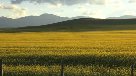 Canada-Alberta-yellow-flowered-crop-s