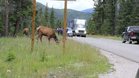Canada-Jasper-National-Park-elk-and-tourists-c