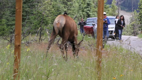 Canada-Jasper-NP-elk-and-tourists-approaching