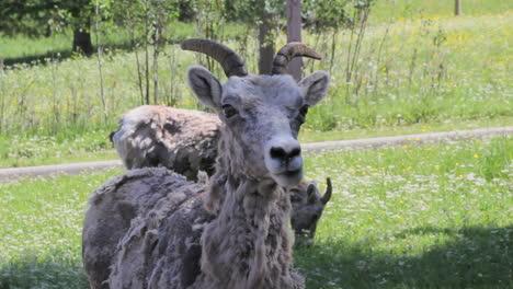 Canada-Banff-Mountain-goat