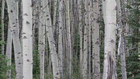 Canada-birch-trees
