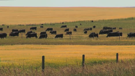 Montana-cattle-grazing-with-wheat-by-pasture-s