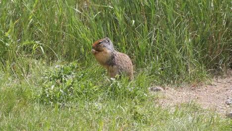 Ground-squirrel-eating-in-grassland