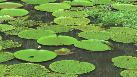 Amazon-water-lily-pads