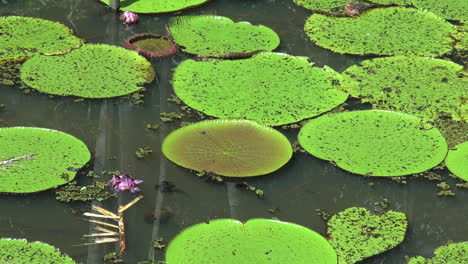 Amazon-water-lilies-pink-flower