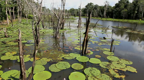 Amazon-water-lilies-and-dead-trees