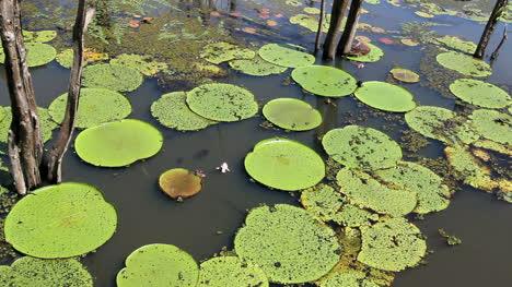 Amazon-giant-water-lilies