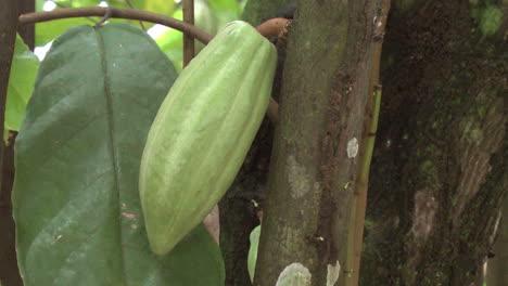 Amazon-cacao-pod-on-tree