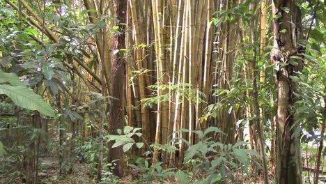 Brazil-Amazon-bamboo-clump