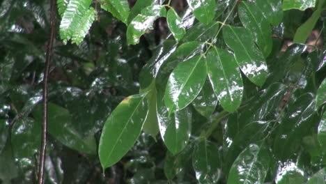 Amazon-leaves-in-rain