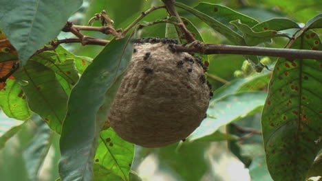 Amazon-jungle-wasp-nest