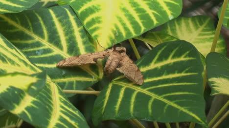 Amazon-jungle-moth-on-leaf