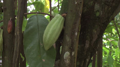 Cacao-pod-zoom-in-2