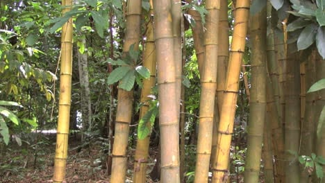 Brazil-bamboo-in-jungle-tilts