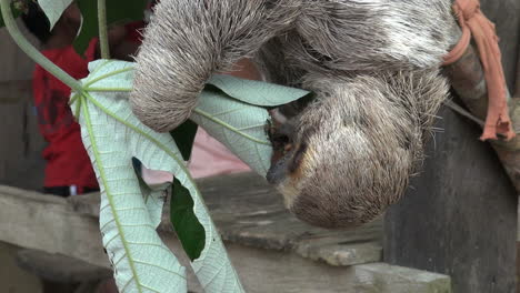 Brazil-Boca-da-Valeria-sloth-eating-leaf