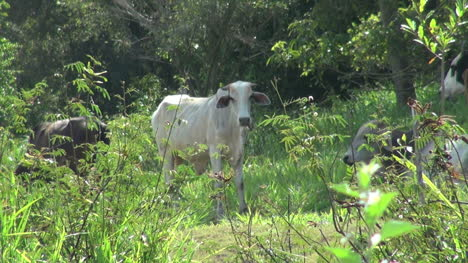 Brazil-Amazon-region-near-Santarem-tropical-cattle-s