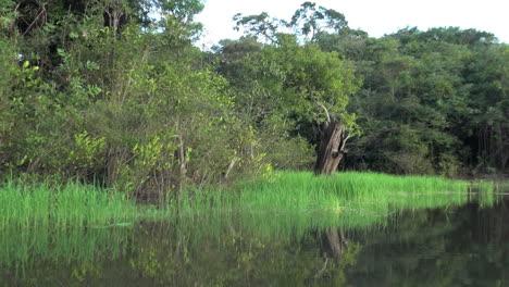Amazon-dead-tree-by-grassy-lake-margin