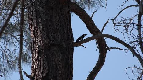 California-woodpecker-pecking-in-pine-tree