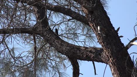 California-woodpecker-in-pine-tree